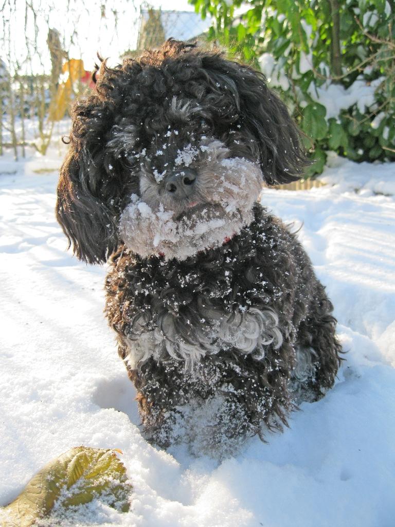 Hibby-im-Schnee